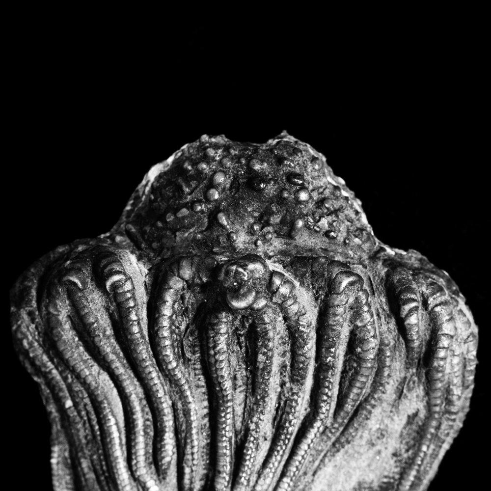 Platycrinus hemisphaericus
