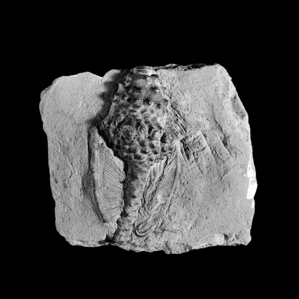 Abatocrinus grandis, Karbon, unt. Mississipian, Indiana, U.S.A