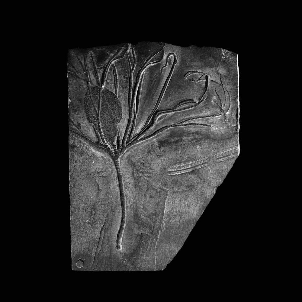 Follicrinus grebei Follmann, Unter-Devon, Gemünden, Deutschlad