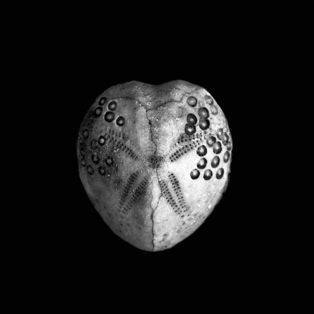 Lovenia woodsi, Miozän, Australien