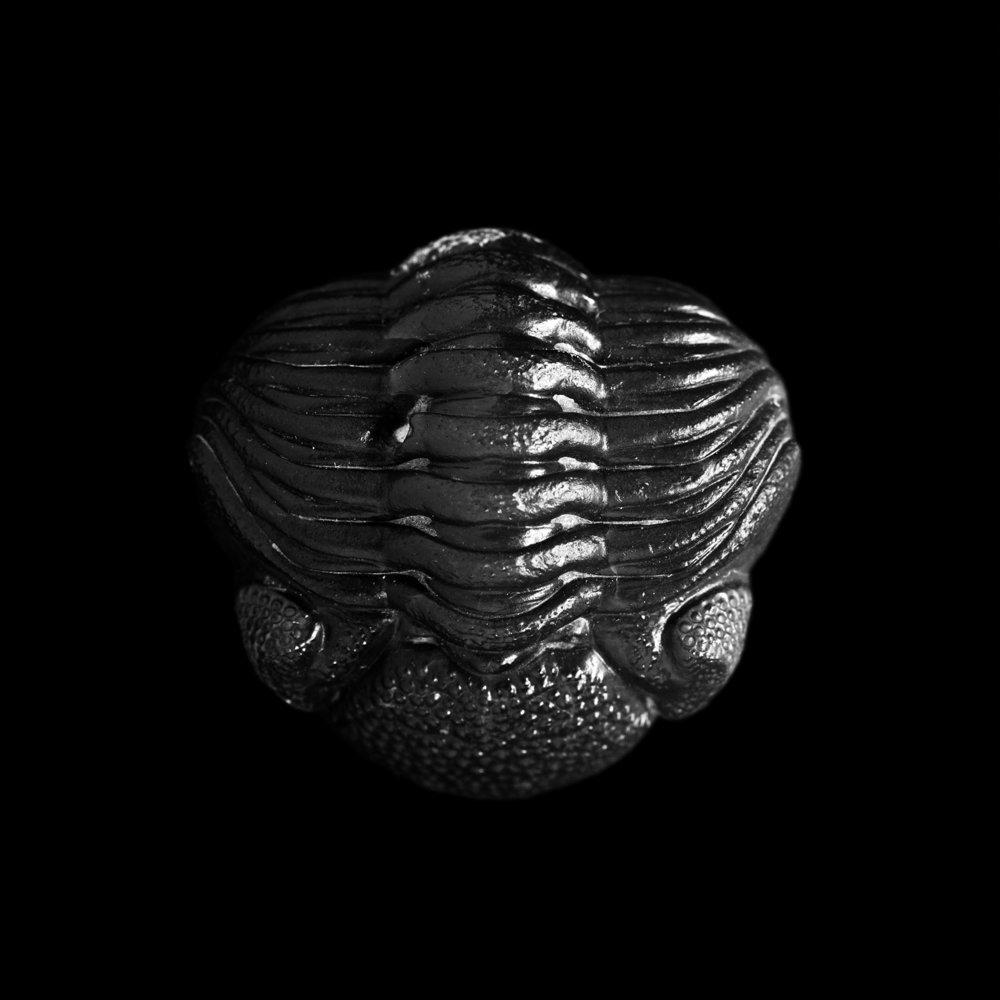 Phacops rana milleri, Silica Shole, Mittel-Devon, Sylvania, Ohio, USA