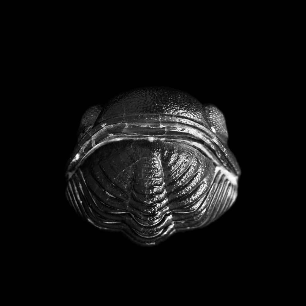 Phacops rana milleri, Silica Shole, Mitteldevon, Sylvania, Ohio, USA