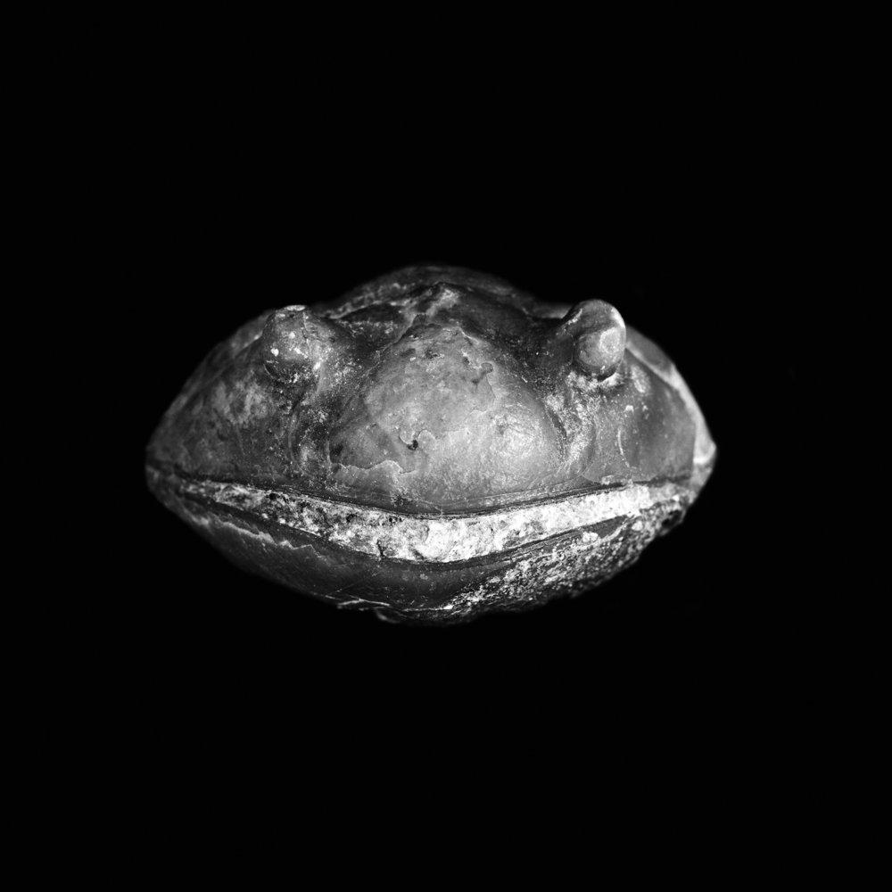 Asaphus expansus, Mittel-Ordovizium, Ljundsbore Göta-Kanal Schweden