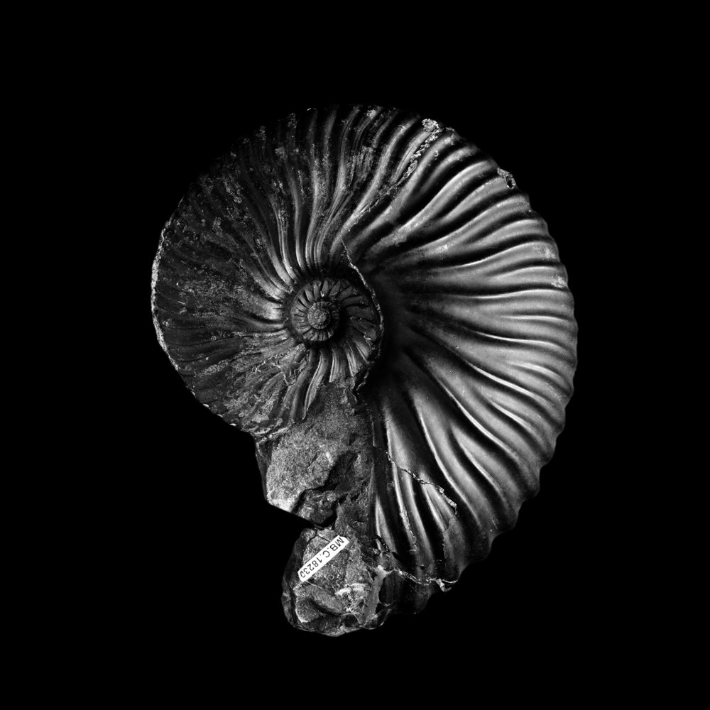 Pulchellia galeata KARSTEN, Barreme, Unter-Kreide, Collumbien