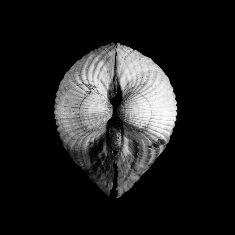 Cerastoderma edule, Linnaeus