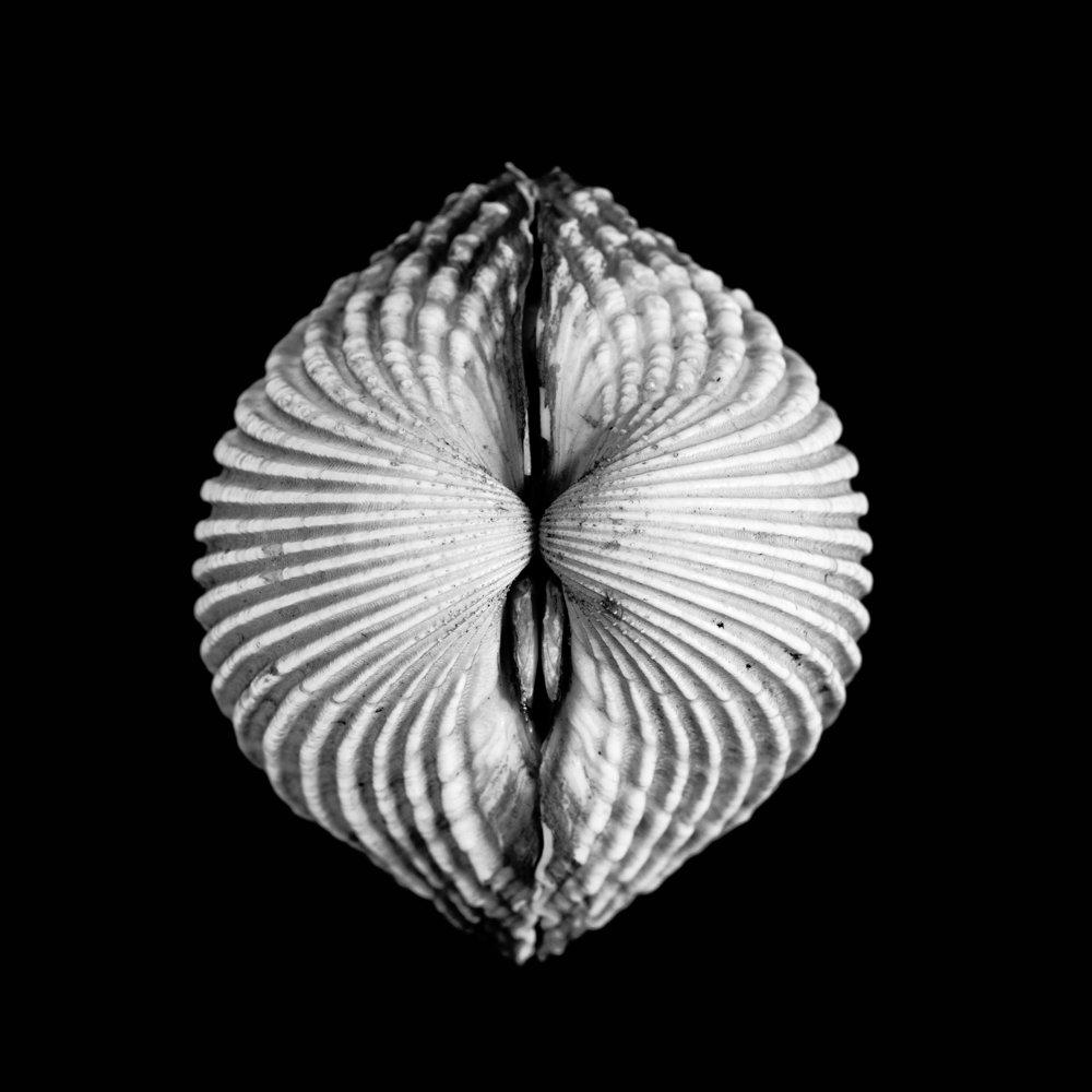 Cardium tuberculatum, Linnaeus
