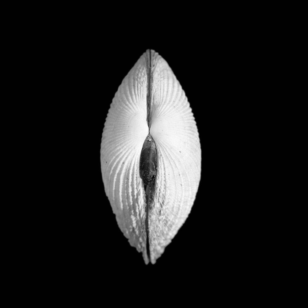Asaphis deflorata, Linnaeus