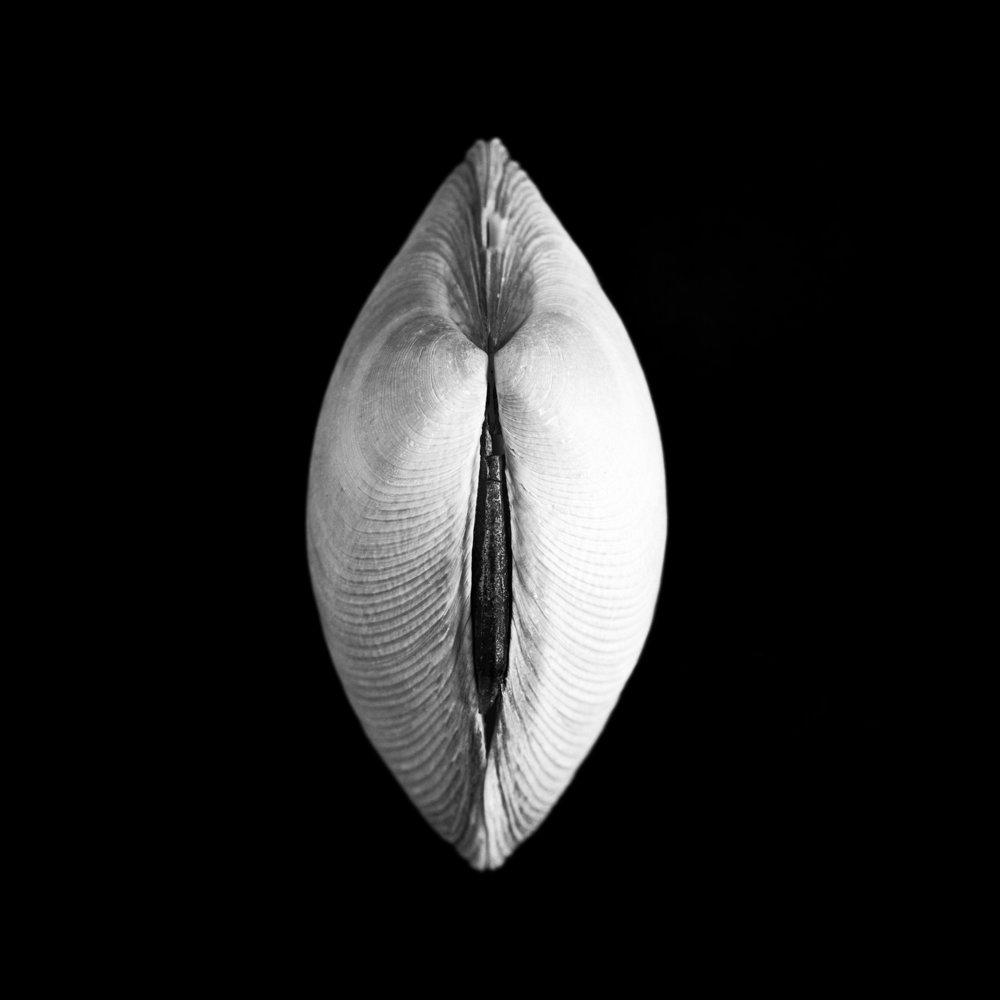 Venerupis largillierti, Philippi
