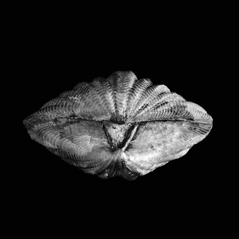 Sprifer (Delthyris) elevatus, Dalman