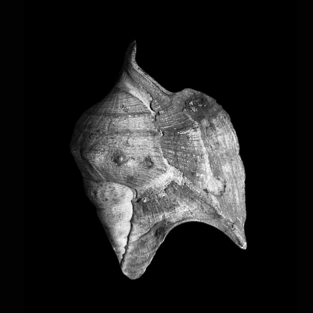 Aporrhais speciosa, Schlotheim