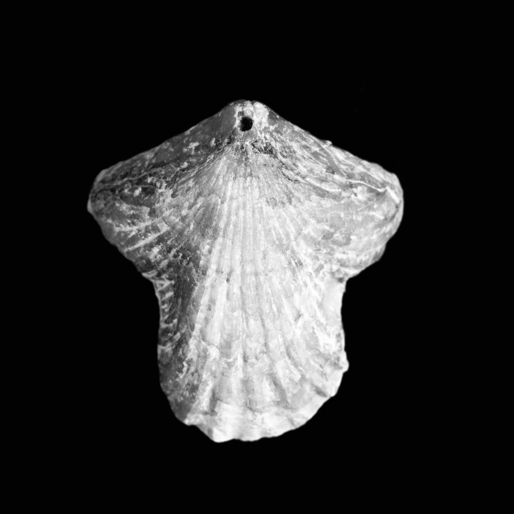 Rhynchonella trilobata, Ooster, Jura, Kelheim