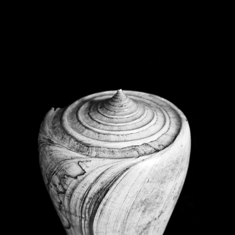 Turbellianus sp, Grat