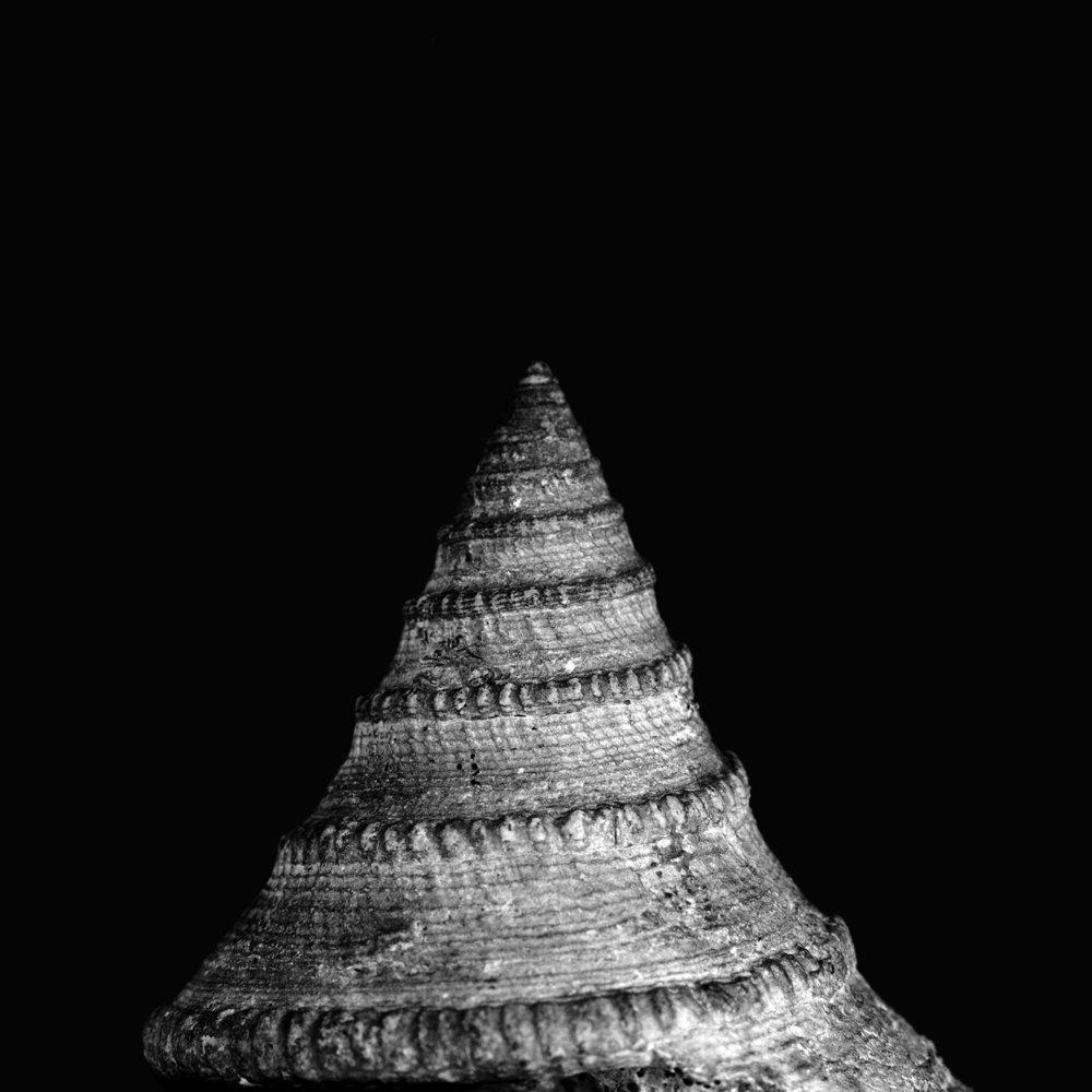 Pleurotomaria circinusulcata dÒrbigny, Dogger, Bajocium, Croizeville Caen, Frankreich