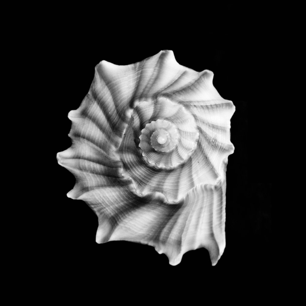 Fulgur perversum, Linnaeus