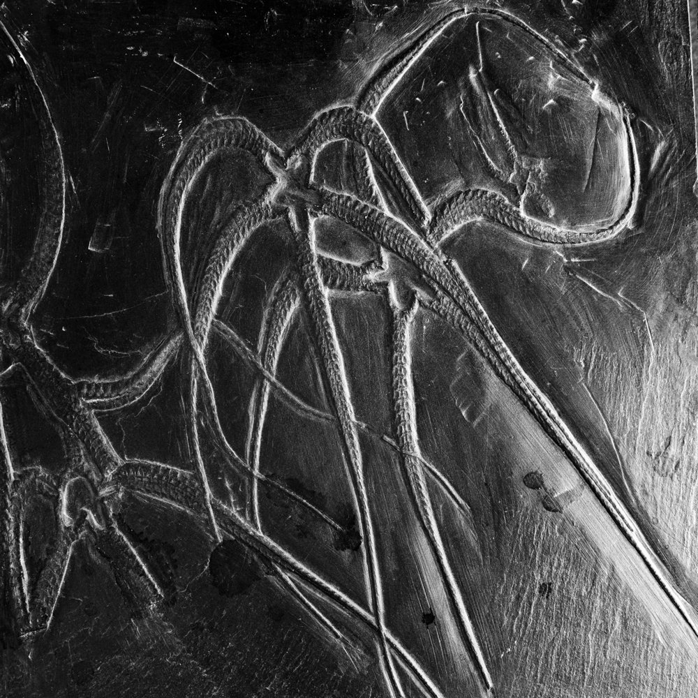Furcaster palaeozoicus STÜRTZ, Unter-Devon, Bundenbach, Deutschland