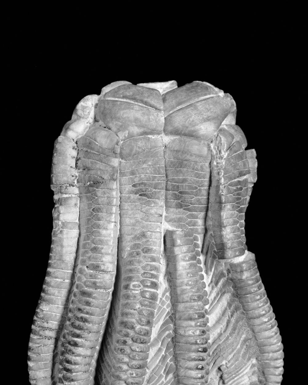 Encrinus liliforms