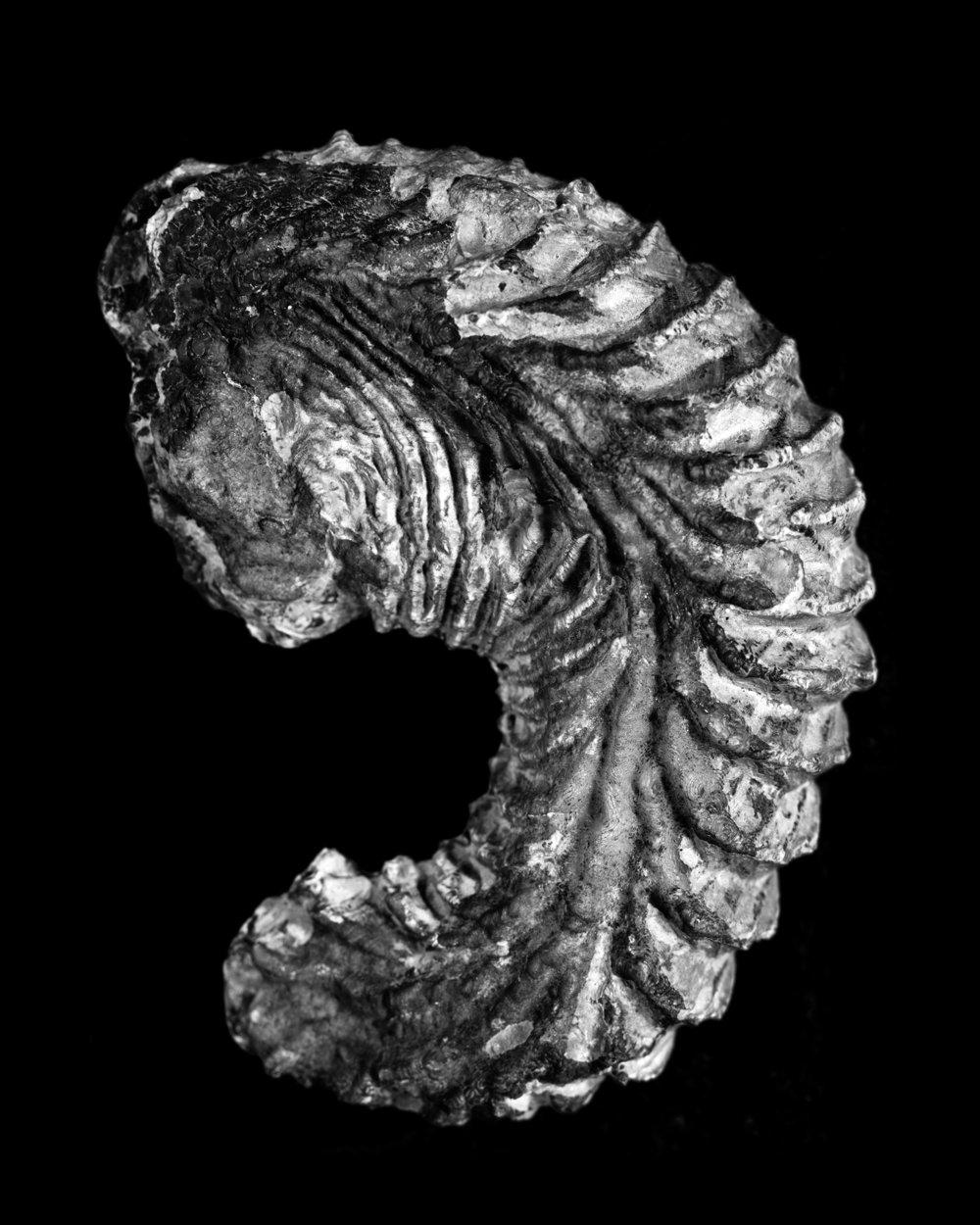 Ostrea carinata, Lamarck