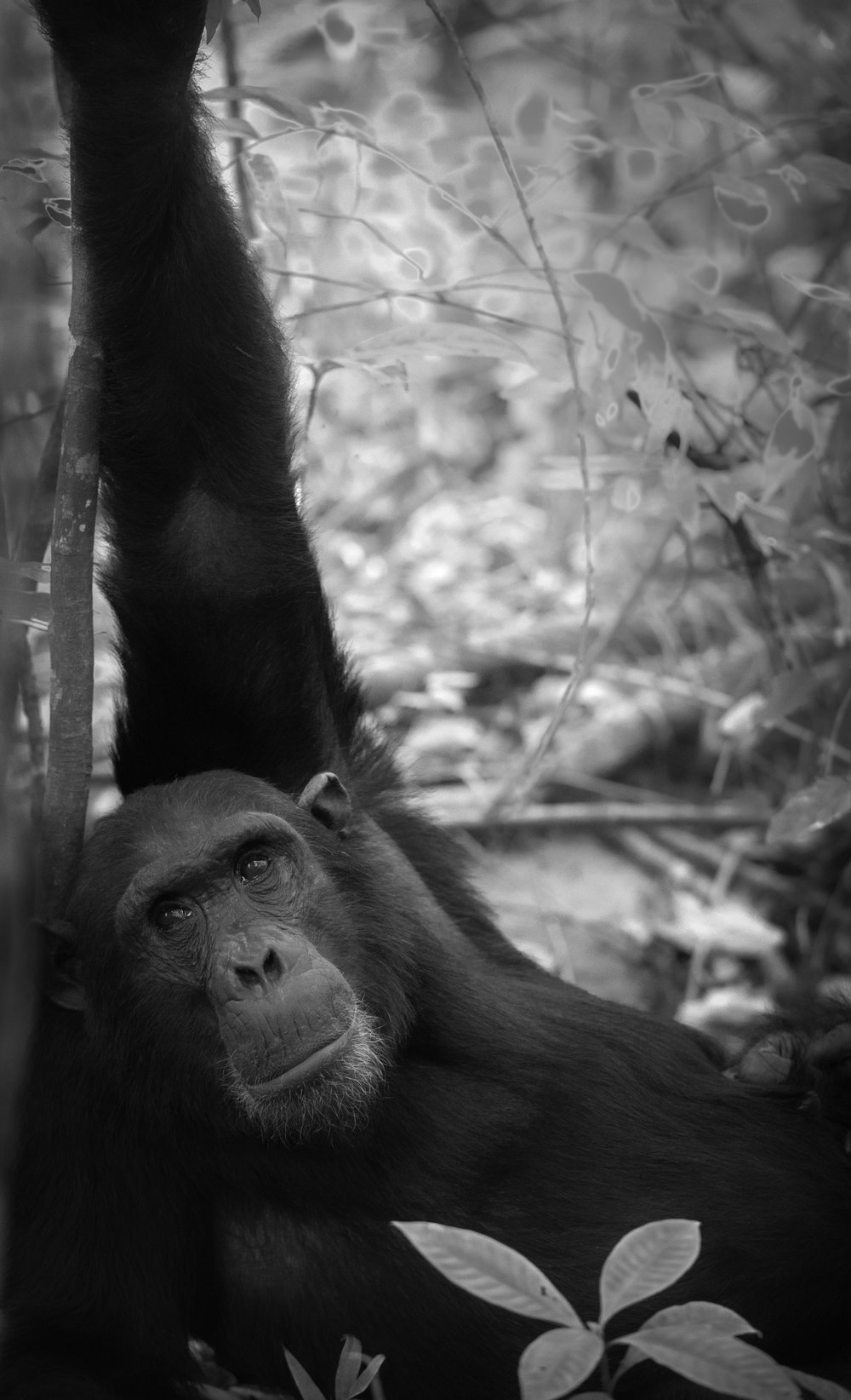 Animals and their home  During my last trip to Tanzania, I revisited Tarangire National Park, Serengeti and Ngorongoro Crater, and then flew on a bush plane to the Mahale Mountains, along the shores of Lake Tanganyika, where we hiked into the forests to see chimpanzees. And although seeing chimpanzees in the wild was an incredible experience, and in spite of their being tolerant about our being in their space, I definitely had the feeling of trespassing. It's a dilemma we face in Yellowstone and Yosemite:  We love to go there to appreciate nature, but how much contact is too much, and when do we love something to death?