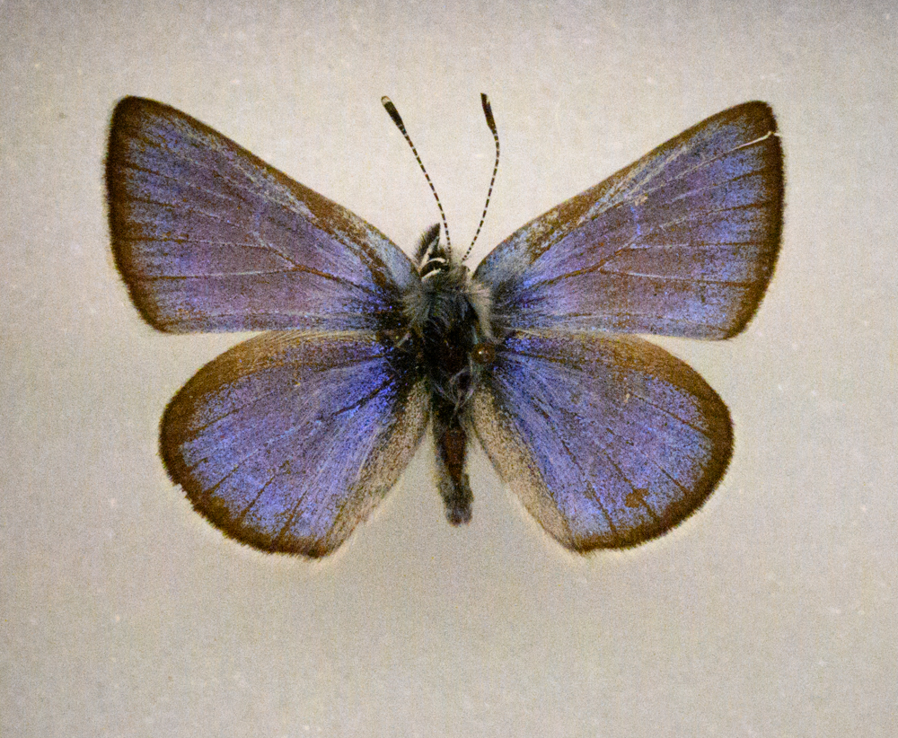 The extinct Xerces blue butterfly, erased from the Earth by habitat destruction