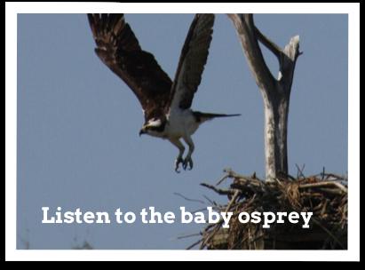 baby-osprey.png