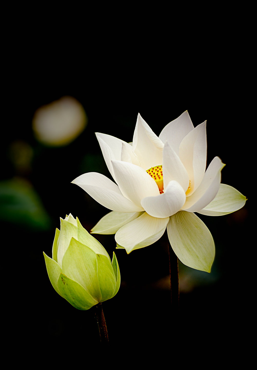 """Be like a Lotus. Let the beauty of your heart speak. Be grateful to the mud, water, air and the light.""    -Amit Ray"