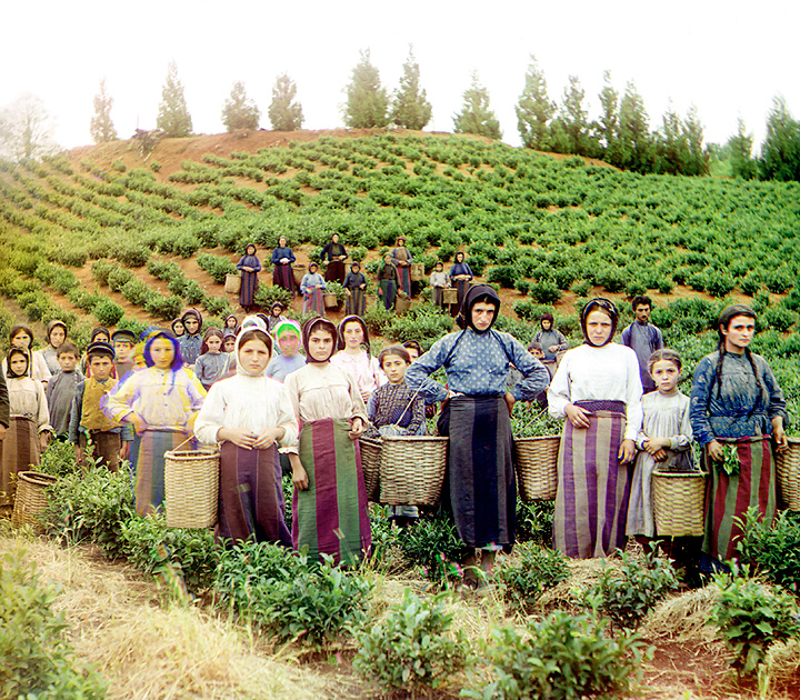 Greek women and children harvesting tea in Chakva, Georgia.