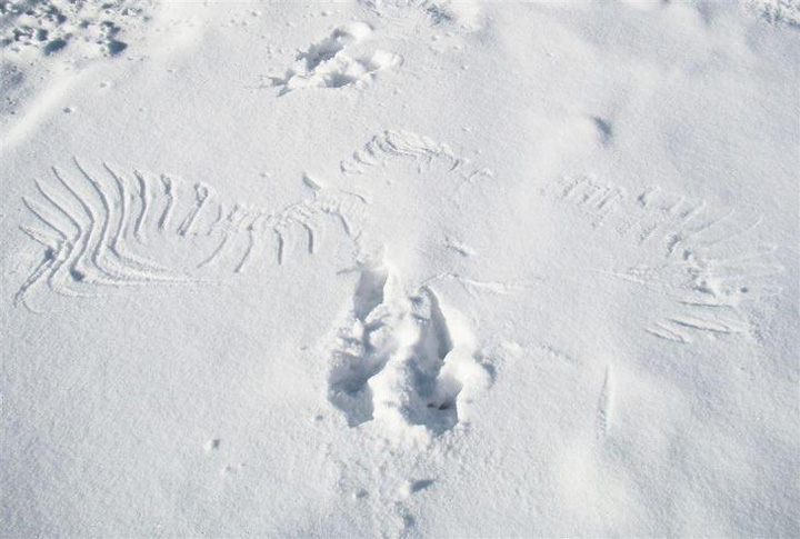 An eagle's print on the snow