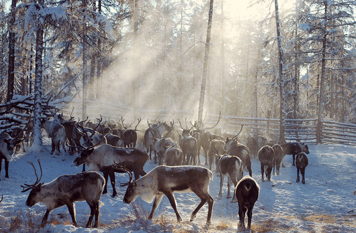 Reindeer use their ability to see ultraviolet light to stay safe and find food