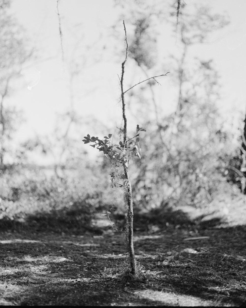 tree_bonaventure_final.jpg