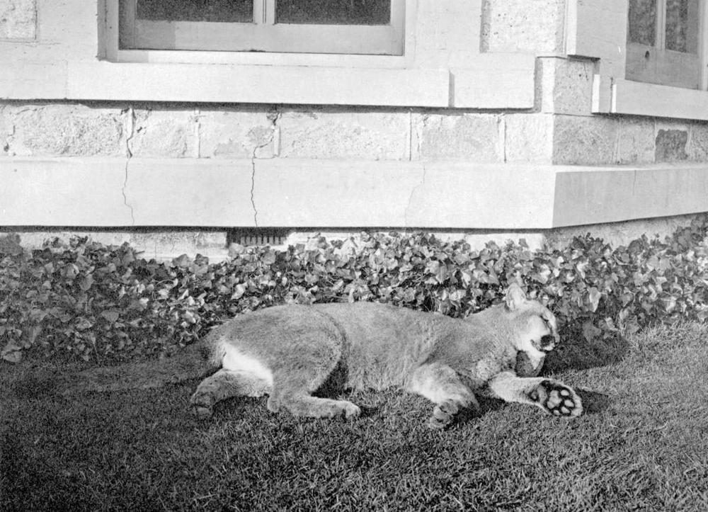 A cougar shot at Armadale in James bay on Christmas morning 1907, near what is today MacDonald Park. Image courtesy of Royal B.C. Museum Archives