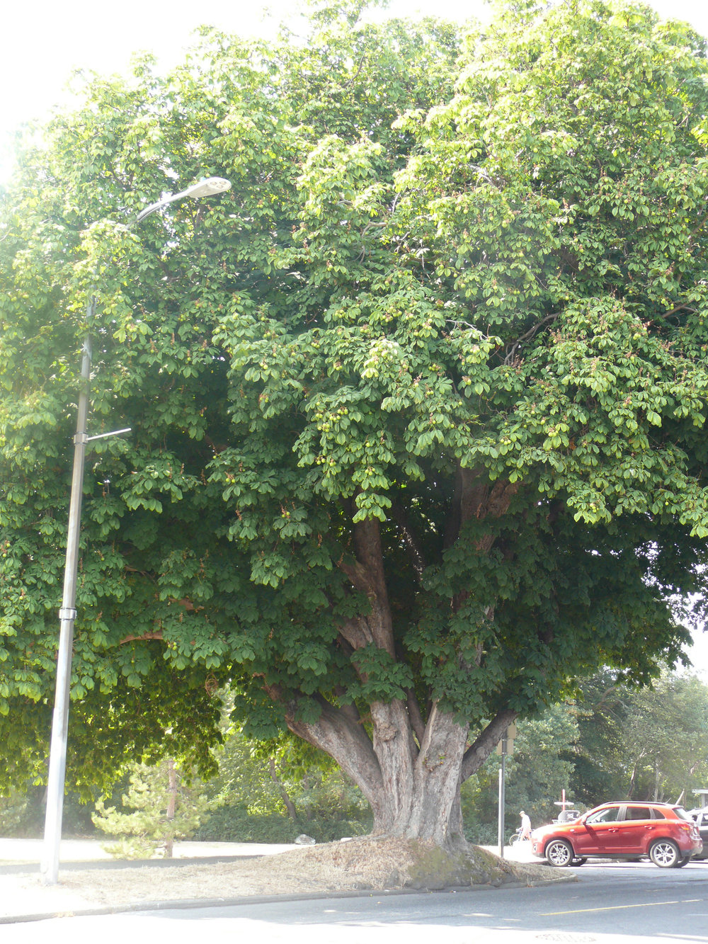 Horse chestnut tree at the intersection of Dallas and Government Streets near Harrison Pond.(#56 on Arborist Report. Photo by Rita Button.)