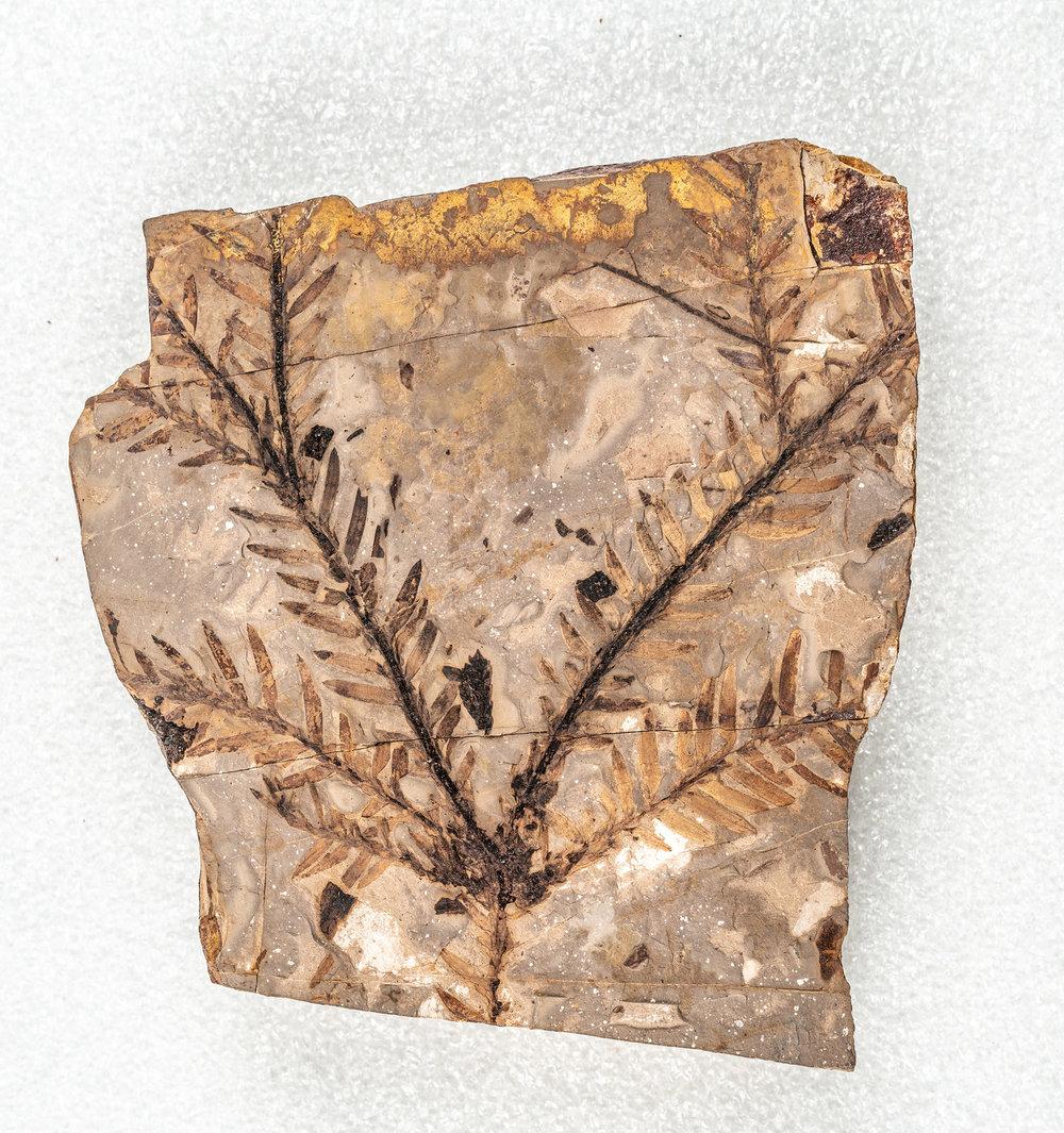 Cypress tree fossil.