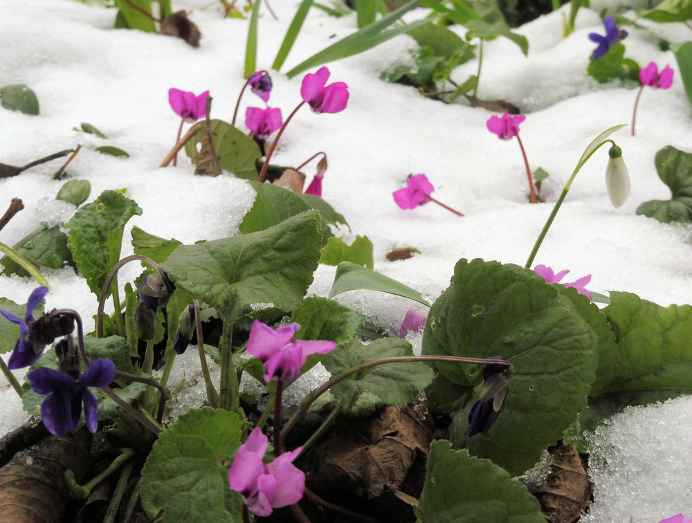 If it snows on your plants, leave it. Snow is a great insulator and may help protect them from cold damage.