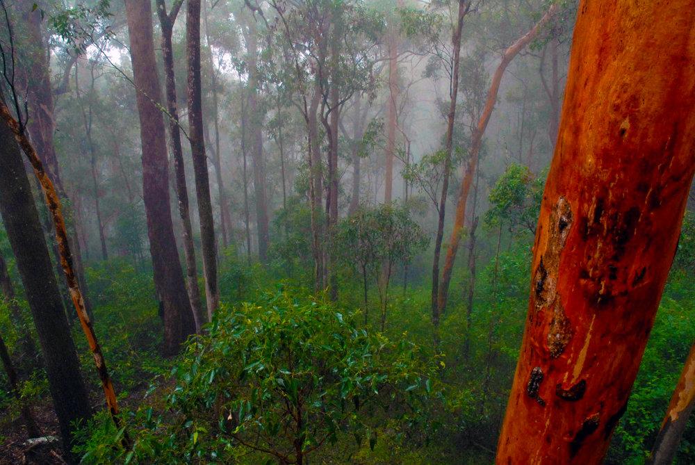 Boombana Forest Mist (NPAQ Image Library