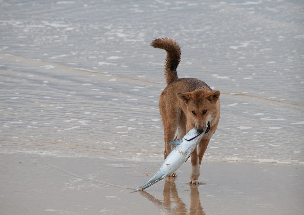 Fraser Island Dingo finds a fish (Marc Tarlock Wikimedia Commons)