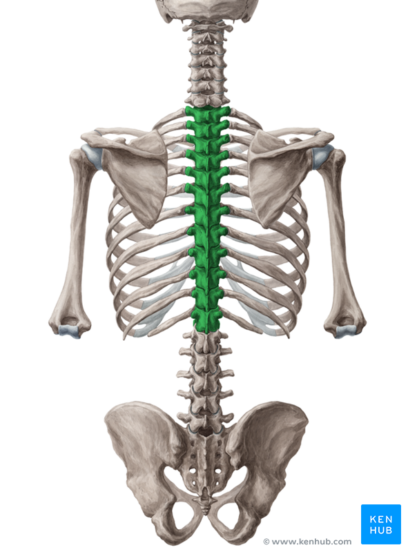 Lets Learn More About The Thoracic Spine Dr William Hatten