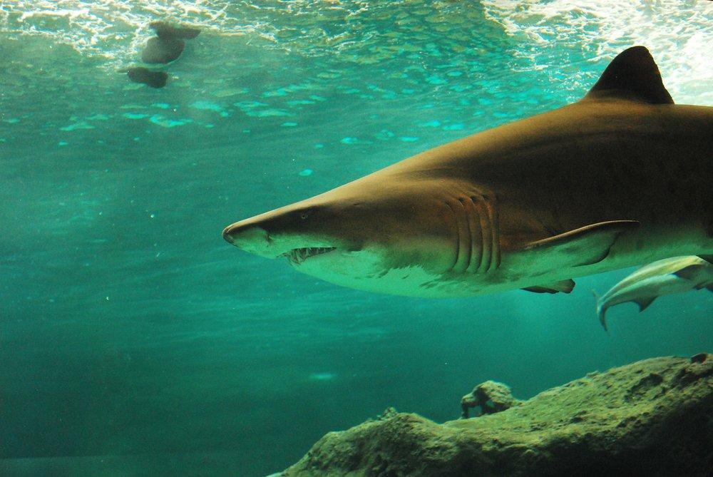 Grey nurse shark - Carcharias taurus