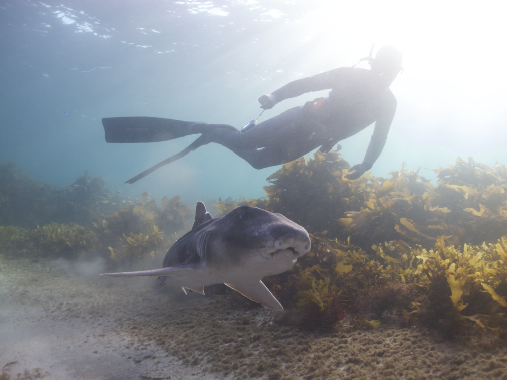 Diver cruising with a Port Jackson shark. Image credit: The Fish Lab, Macquarie University,