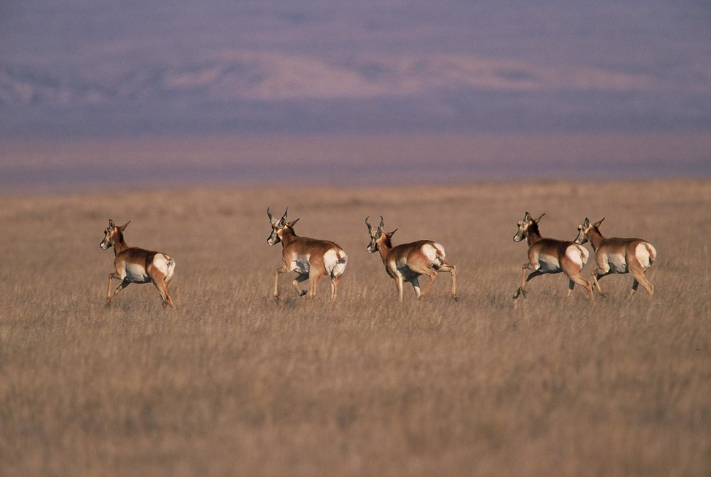 Pronghorn. © Chuck Graham