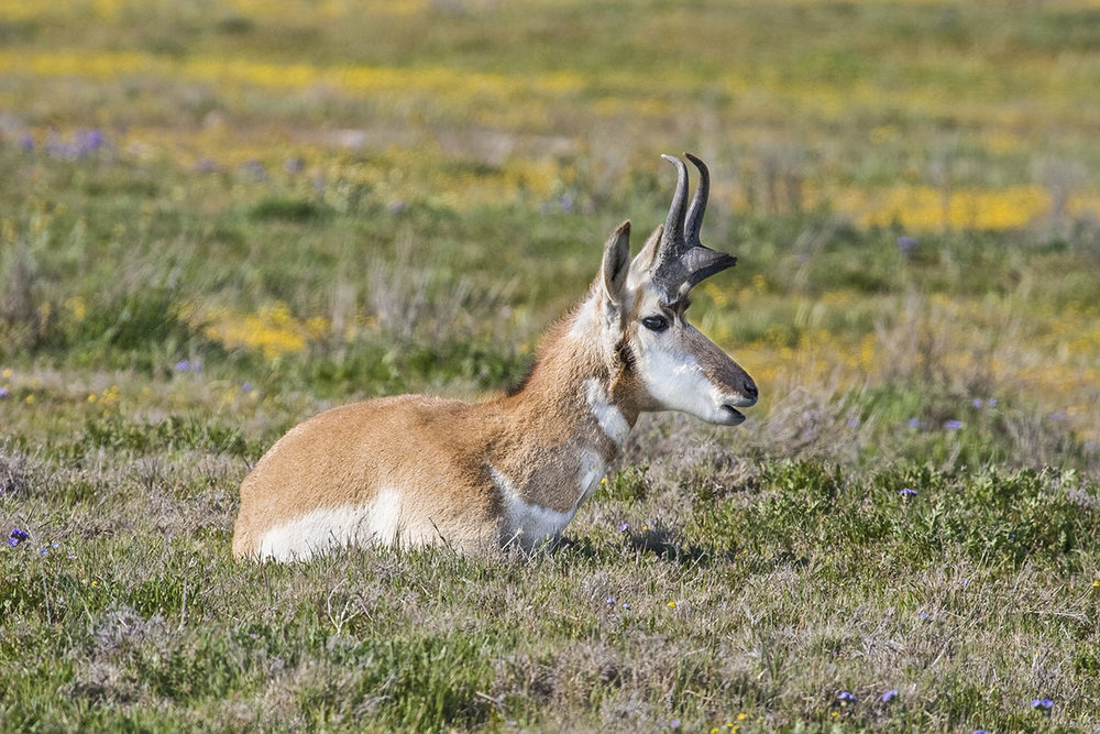 Pronghorn. © Bill Bouton