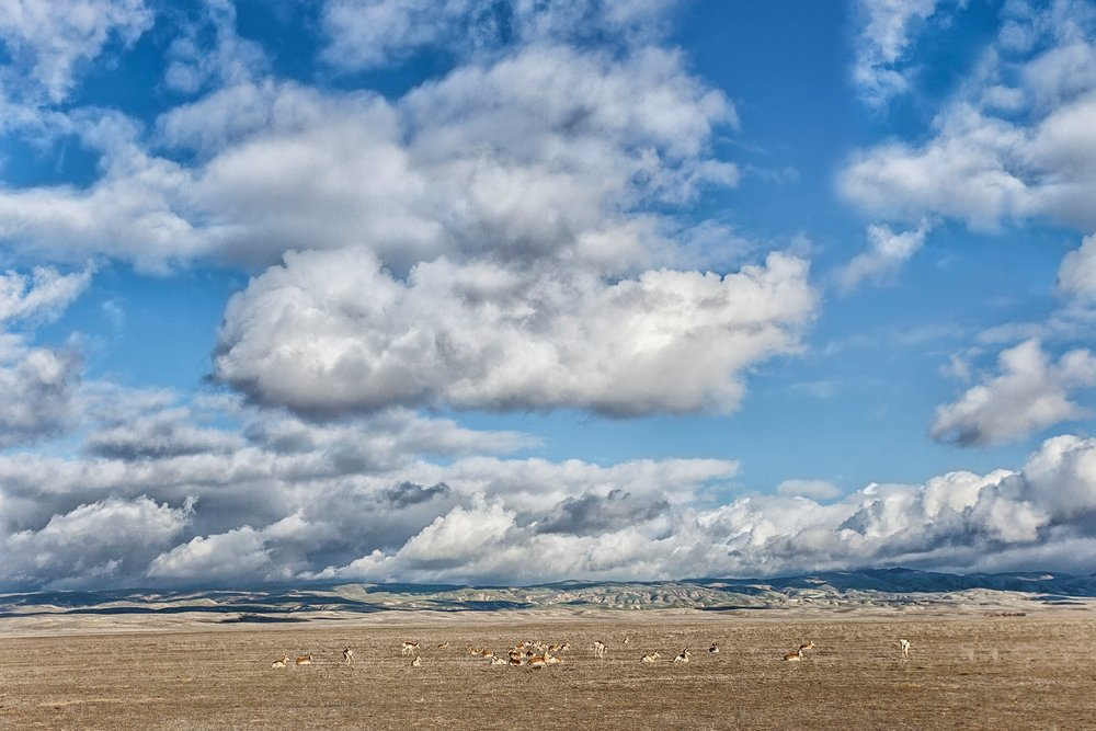 Pronghorn Herd. © Bill Bouton