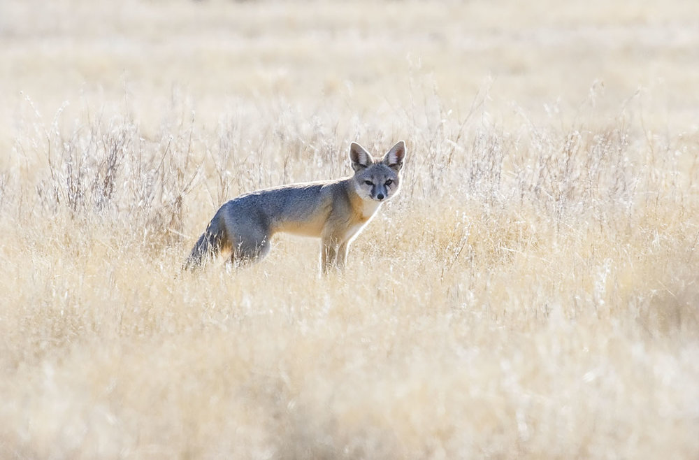 San Joaquin Kit Fox. © Bill Bouton