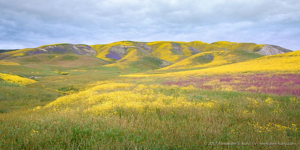 Elkhorn Road Hillside Daisies © Alexander S. Kunz