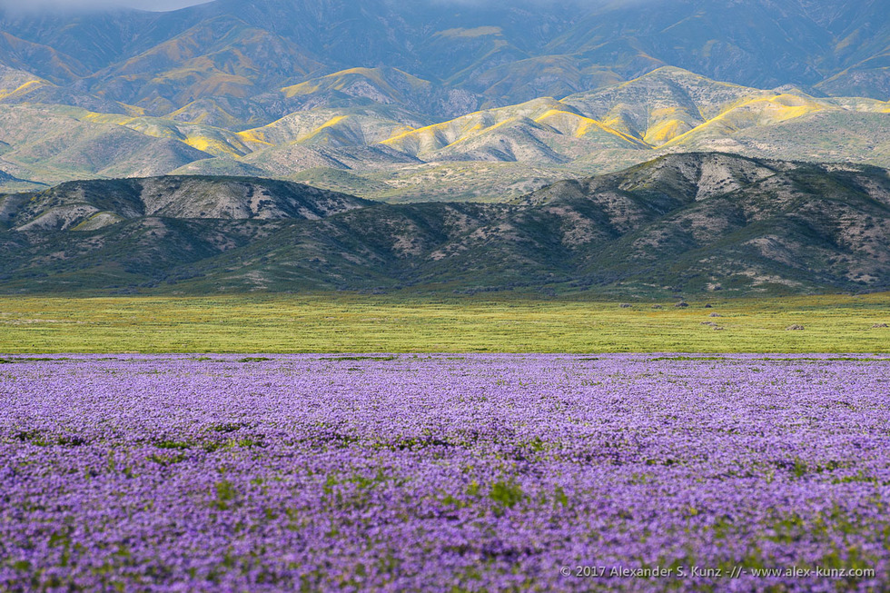 Phacelias & Temblor Range © Alexander S. Kunz