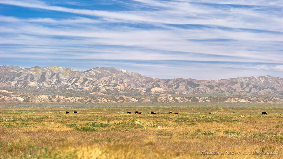 Cows Below Temblor Range © Alexander S. Kunz