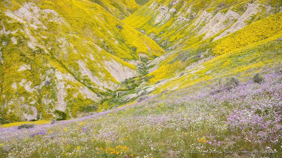 Hillside Daisies, Temblor Range © Alexander S. Kunz