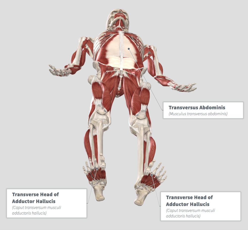 Adductor Hallucis - TVA .png