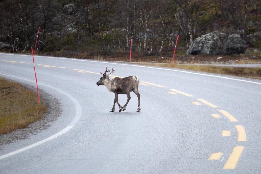 emilygertz-2015-arctic-norway-road-reindeer.jpg