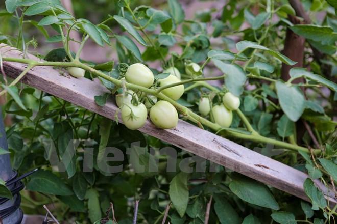 Những quả cà chua căng tràn sức sống. (Ảnh: Minh Sơn/Vietnam+)