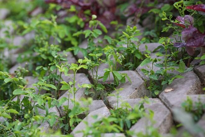 Những cây rau xanh ngan ngát cứ thế mọc lên dưới bàn tay của người 'nông dân thành phố'. (Ảnh: Minh Sơn/Vietnam+)